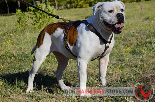 Lightweight Harness for American Bulldog Walking and Tracking