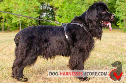 Comfortable Newfoundland leather harness
