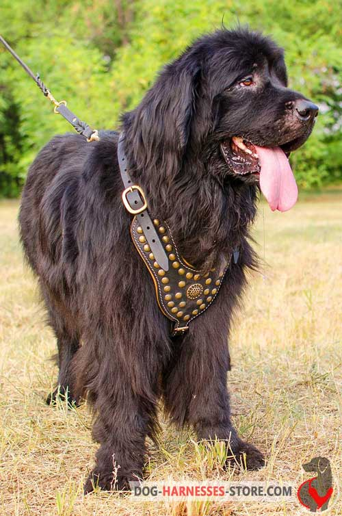 Studded Newfoundland leather harness