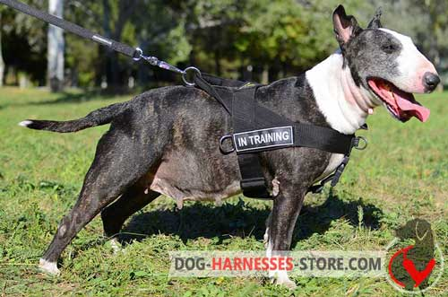 Strong English Bull Terrier harness with ID patches