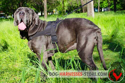 Nylon     Mastiff Neapolitan Harness without Chest Plate