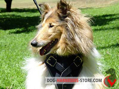 Collie Harness Made of Leather with Soft Chest Plate