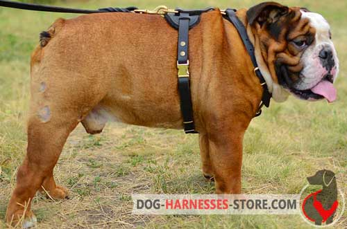 Dependable leather dog harness for English Bulldog
