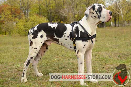 Leather Great Dane  harness for pulling activities