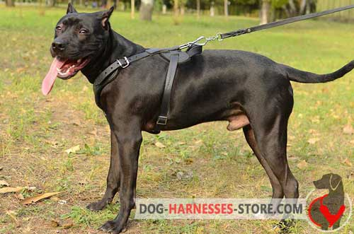 Y-shaped padded Pitbull harness with reliable hardware