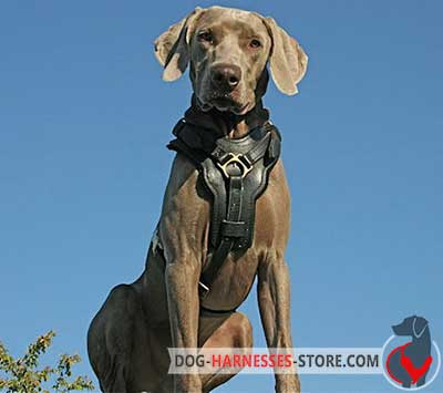 Padded on Chest Plate Leather Weimaraner Harness