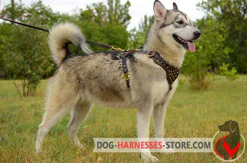 Alaskan Malamute leather harness practicable in use