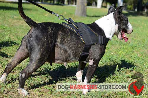 English Bull Terrier harness for pulling/tracking