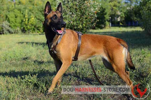 Non-Rubbing Leather Belgian Malinois Harness for Off-leash Training