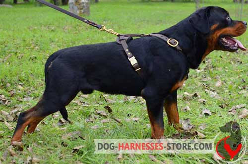 Leather Rottweiler harness with quick release buckle