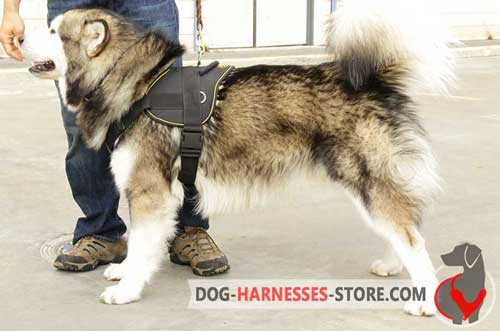 Siberian Husky nylon harness for walking