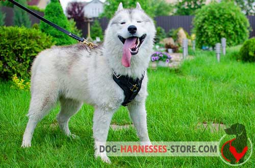Y-shaped Siberian Husky harness for comfy walking