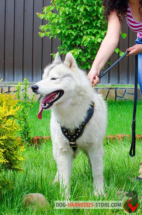Designer Siberian Husky leather harness with studs