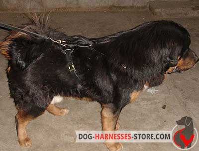Training Leather Harness For Tibetan Mastiff