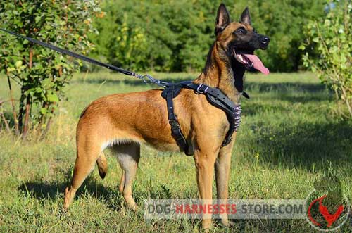 Walking Leather Belgian Malinois Harness with Spikes