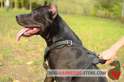 Walking Pitbull harness with soft padding