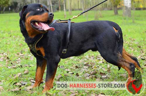 Rottweiler Rottweiler harness walking