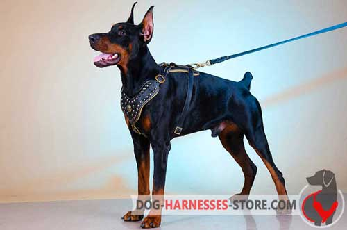 Snug and comfortable leather Doberman harness