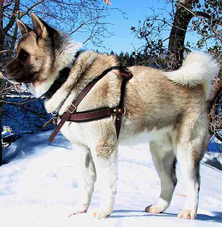 Pulling Akita Inu leather harness