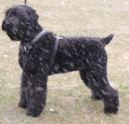 Adjustable Black Russian Terrier Harness