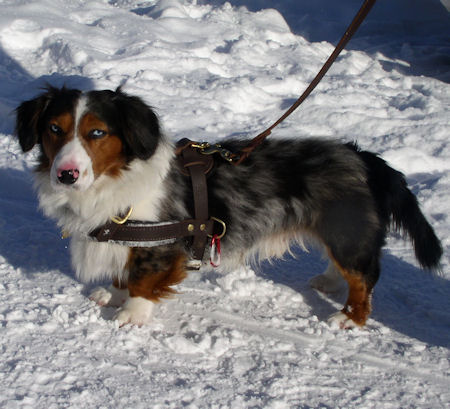 Pulling harness for Cardigan Welsh Corgi