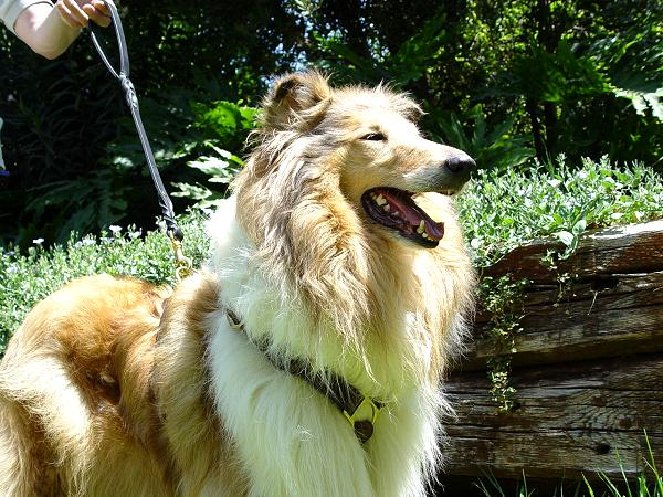 Lightweight Collie Harness Made of Leather Straps