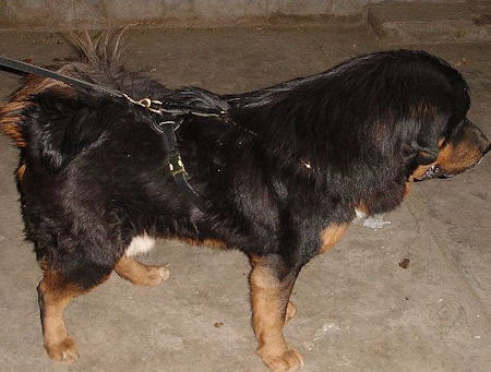 Padded Tibetan Mastiff Harness for Training and Walking