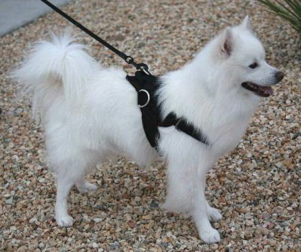 American Eskimo Nylon multi-purpose dog harness for walking