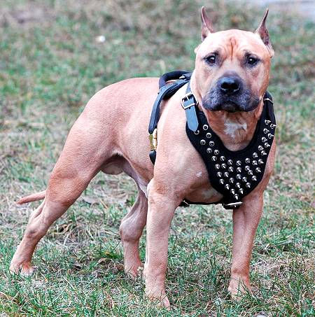 Trendy leather Amstaff harness with spikes