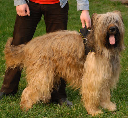 Nylon Briard harness for pleasant walking