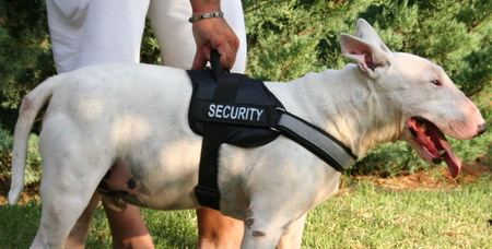 Bull terrier harness size