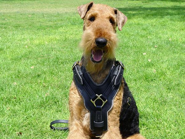 Exclusive Luxury Handcrafted Padded Leather Airedale Terrier Harness