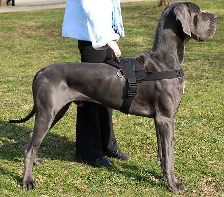 Multi-purpose Great Dane Harness for Pulling, Walking and Training