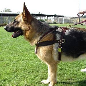 leather dog harness padded pulling agitation protection_LRG bloodhound walking leather dog harness harness for bloodhound [h5