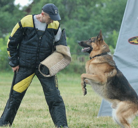 schutzhund show - german shepherd training bite sleeve