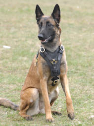 leather dog harness for malinois