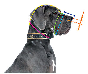 Measure correctly your Doberman