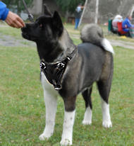 Akita Inu/Siberian Husky leather dog harness for walking