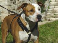 Handcrafted Leather Dog Harness for Staffordshire Terrier