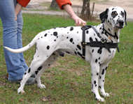 Leather Dalmatian Harness for Pulling/Tracking